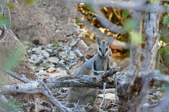 a rock wallaby standing resting on a branch
