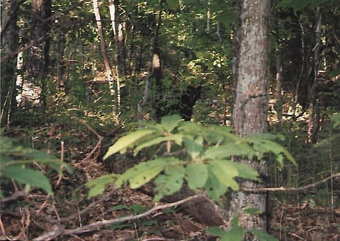 black bear encounter with dark outline of bear amongst the trees in the middle of the photo