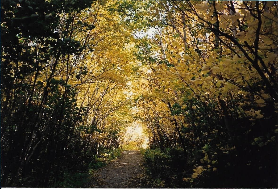 a garden path with a canopy of trees with yellow leaves