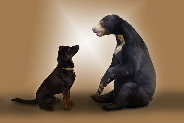 black bear talking down to a dog attentively listening